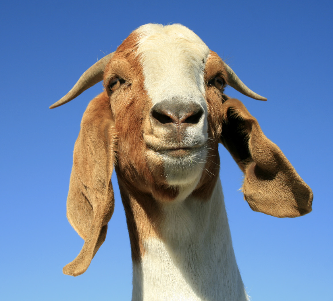 Interested In Goats And Sheep